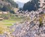 全国的にも珍しい!しだれ桜の町・神山案内