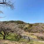 春の神山案内・1万6000本の花が咲く「梅の里・阿川」