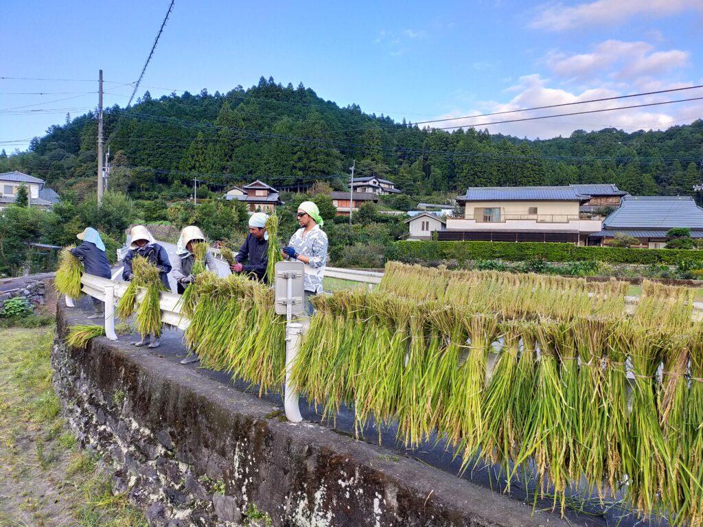 スタッフ揃って無農薬米を収穫し天日干しする様子