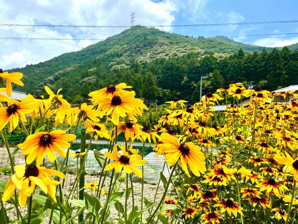 畑の隅に咲く向日葵
